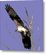 Osprey Lift Off Metal Print by Sharon McLain