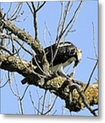 Osprey Meal Time Metal Print