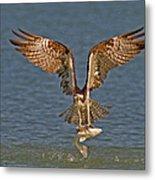 Osprey Morning Catch Metal Print