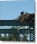 Osprey Nest With Mom And Chicks Metal Print