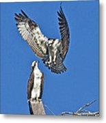 Osprey Pair Love In The Air Metal Print