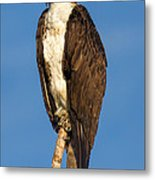 Osprey Perched In Yellowstone National Park Metal Print