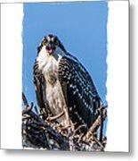 Osprey Surprise Party Card Metal Print