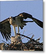 Osprey Warning Metal Print