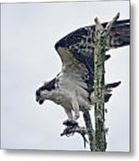 Osprey With Fish 4 Metal Print