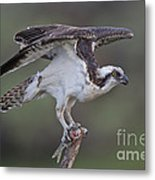 Osprey With Fish Metal Print