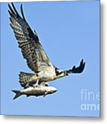Osprey With Mullet Metal Print