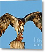 Osprey With Spotted Bass Metal Print