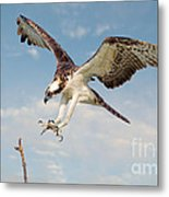 Osprey With Talons Extended Metal Print