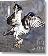 Osprey With Walleye Fish Metal Print