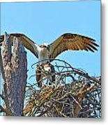 Ospreys Copulating In New Nest2 Metal Print