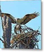 Ospreys Copulating In New Nest3 Metal Print