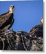 Ospreys In The Nest Metal Print
