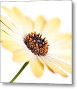 Osteospermum Sunny Flower I Metal Print by Natalie Kinnear