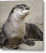 Otter North American  Metal Print