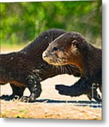 Otters Crossing The Road  Metal Print