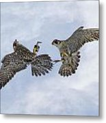 Young Peregrine Falcon And Ma Share In The Air Metal Print
