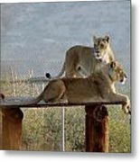 Out Of Africa Lions Metal Print