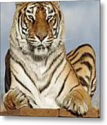 Out Of Africa Tiger 4 Metal Print