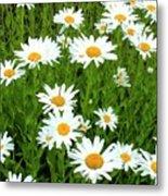 Ox-eye Daisies (leucanthemum Vulgare) Metal Print