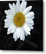 Oxeyed Daisy Metal Print