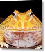 Pac Man Frog Ceratophrys On A Rock Metal Print