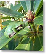Pacific Chorus Frog On A Rhodo  Metal Print