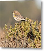 Pacific Sloped Flycatcher Metal Print