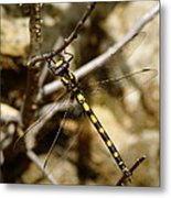 Pacific Spiketail Dragonfly On Mt Tamalpais Metal Print