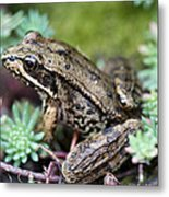 Pacific Tree Frog Among Succulent Plant Metal Print by David Gn