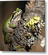 Pacific Treefrog Metal Print