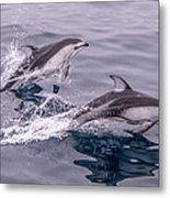Pacific White Sided Dolphins Metal Print