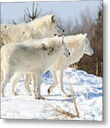 Pack Of Arctic Wolves Metal Print