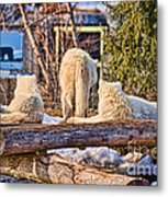 Pack Of Arctic Wolves Watching A Polar Bear Movie Metal Print