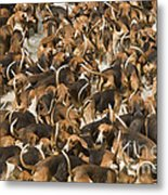 Pack Of Hound Dogs Metal Print
