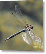 Paddletail Darner In Flight Metal Print