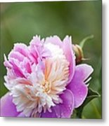Paeonia Lactiflora 'raspberry Sundae' Metal Print