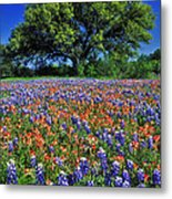 Paintbrush And Bluebonnets - Fs000057 Metal Print by Daniel Dempster