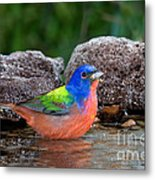 Painted Bunting Passerina Ciris In Water Metal Print
