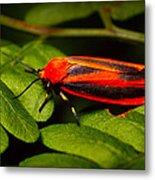 Painted Lichen Moth Metal Print