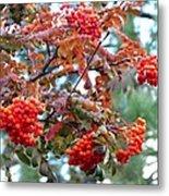 Painted Mountain Ash Berries Metal Print