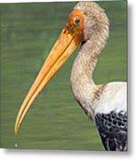 Painted Stork Mycteria Leucocephala Metal Print