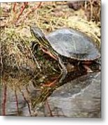 Painted Turtle Climbing Onto Shore Metal Print
