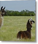 Pair Of Alpacas Metal Print