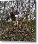 Pair Of Bald Eagles At Their Nest Metal Print