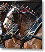 Pair Of Budweiser Clydesdale Horses In Harness Usa Rodeo Metal Print