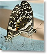 Pair Of Citrus Swallowtail Butterflies  Metal Print