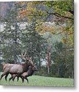 Pair Of Elk Bulls Metal Print