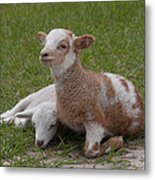 Pair Of Lambs Metal Print
