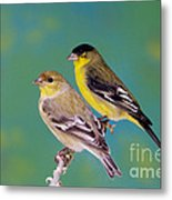 Pair Of Lesser Goldfinches Metal Print